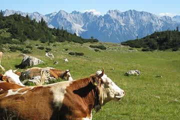 Urlaub auf der Sommerweide im Karwendel