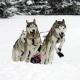 Schlittenhundetage in Wallgau