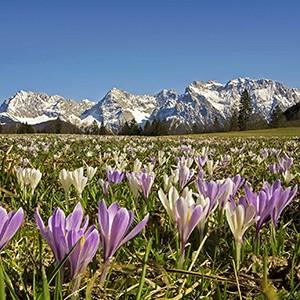 Bergfrühling mit Krokusblüte in Krün