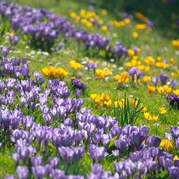 Frühling in Wallgau und Krün Krokkusblüte