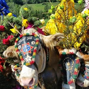 Almabtrieb der Rinder in Wallgau und Krün