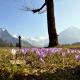Krokusblüte im Frühling bei Krün und Wallgau