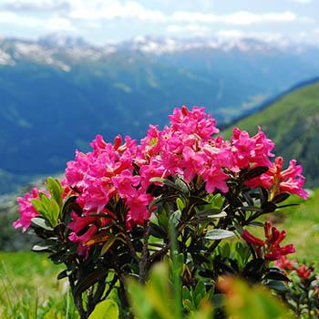 Alpenrosen blühen in den Bergen von Krün und Wallgau