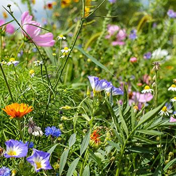 Sommerliche Blumenwise an den Berghängen zwischen Krün und Wallgau